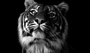 Tiger 1170 x 700 300x179 - Tiger-1170-x-700